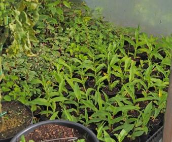Fuchsias and Roscoeas