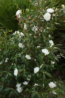 C. sasanqua 'Paradise Little Lianne'