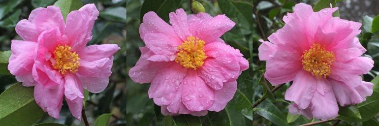 Camellia-Show-Girl