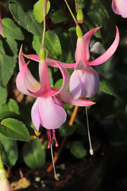 Fuchsia-Hampshire-Blue