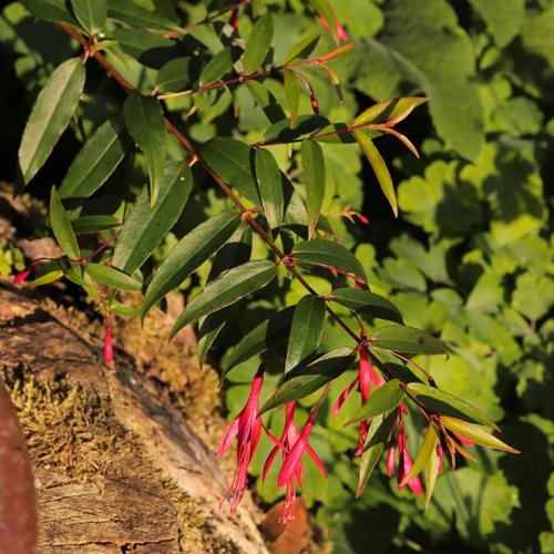 Fuchsia-hatschbachii