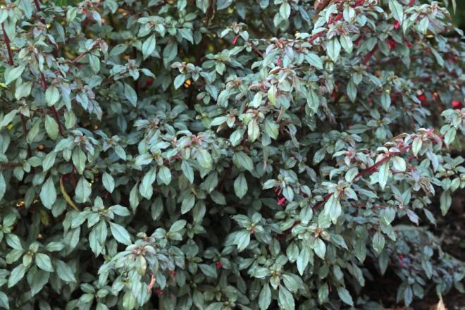 Fuchsia-Marlies-de-Keijzer