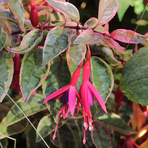 Fuchsia-Tom-West
