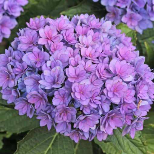 Hydrangea-Together-1