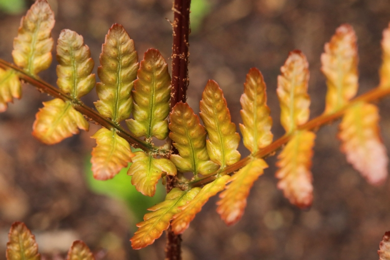Dryopteris-Brilliant-3