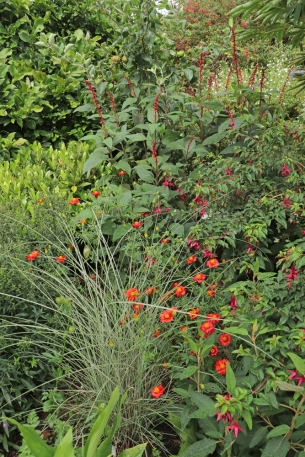 Newly planted area packed short term with Tagetes 'Cinnabar' and Salvia confertiflora.