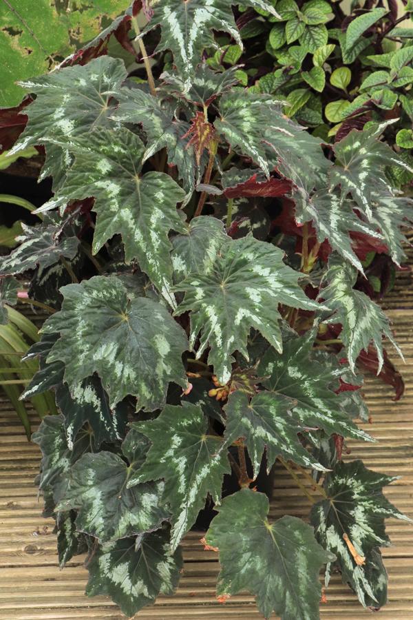 Begonia-Tie-Dye