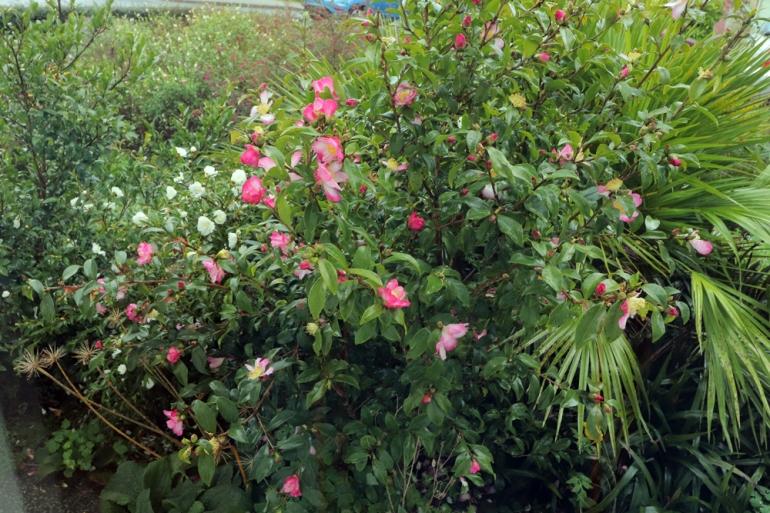 Camellia-Navajo-5