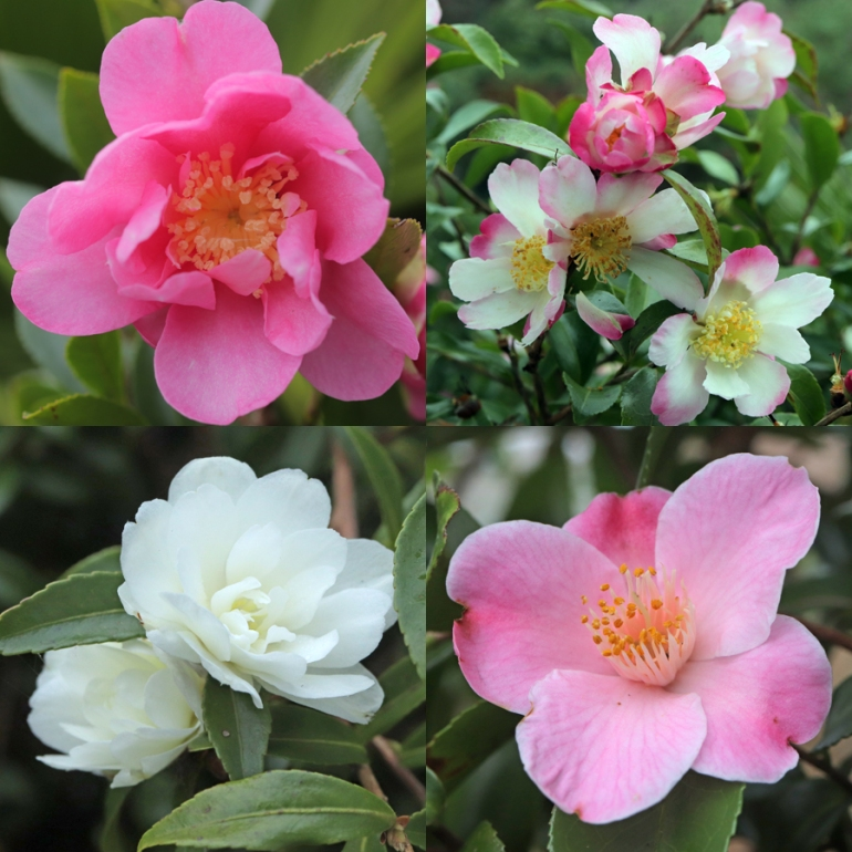 Camellias-4