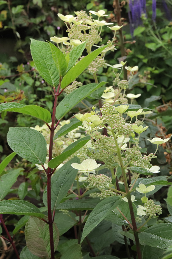 Hydrangea-Early-Sensation