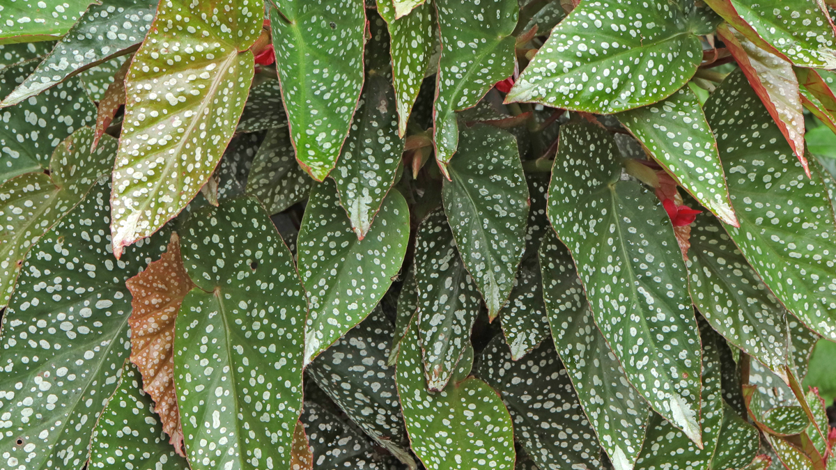 Begonias in the garden – 3